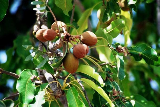 CAMPAIGN TO SAVE SHEA BUTTER TREE