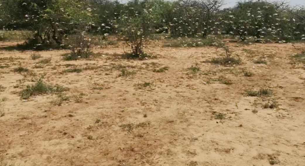 Kitgum Residents Hunting Locusts for Food