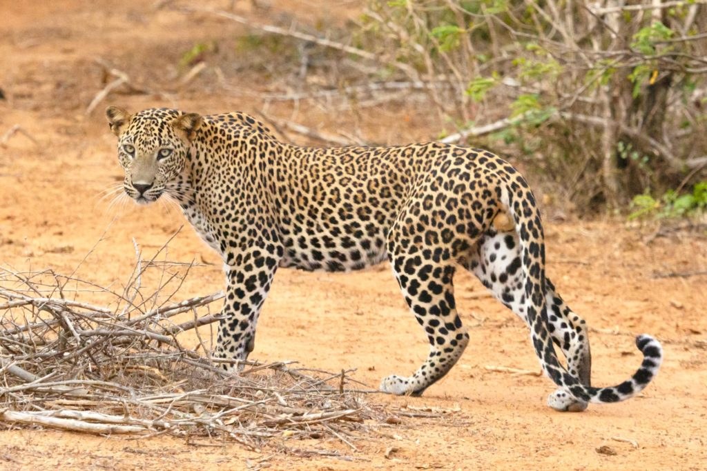 Bunyangabu Residents in panic after leopard escape