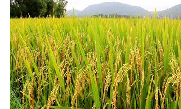 Japan to help Africa double rice production